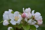 Fleurs de Malus 'Everest'