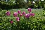 Tulipe 'Angélique'