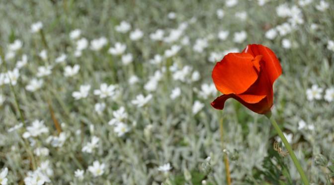 Ces fleurs qui se ressèment comme on aime !