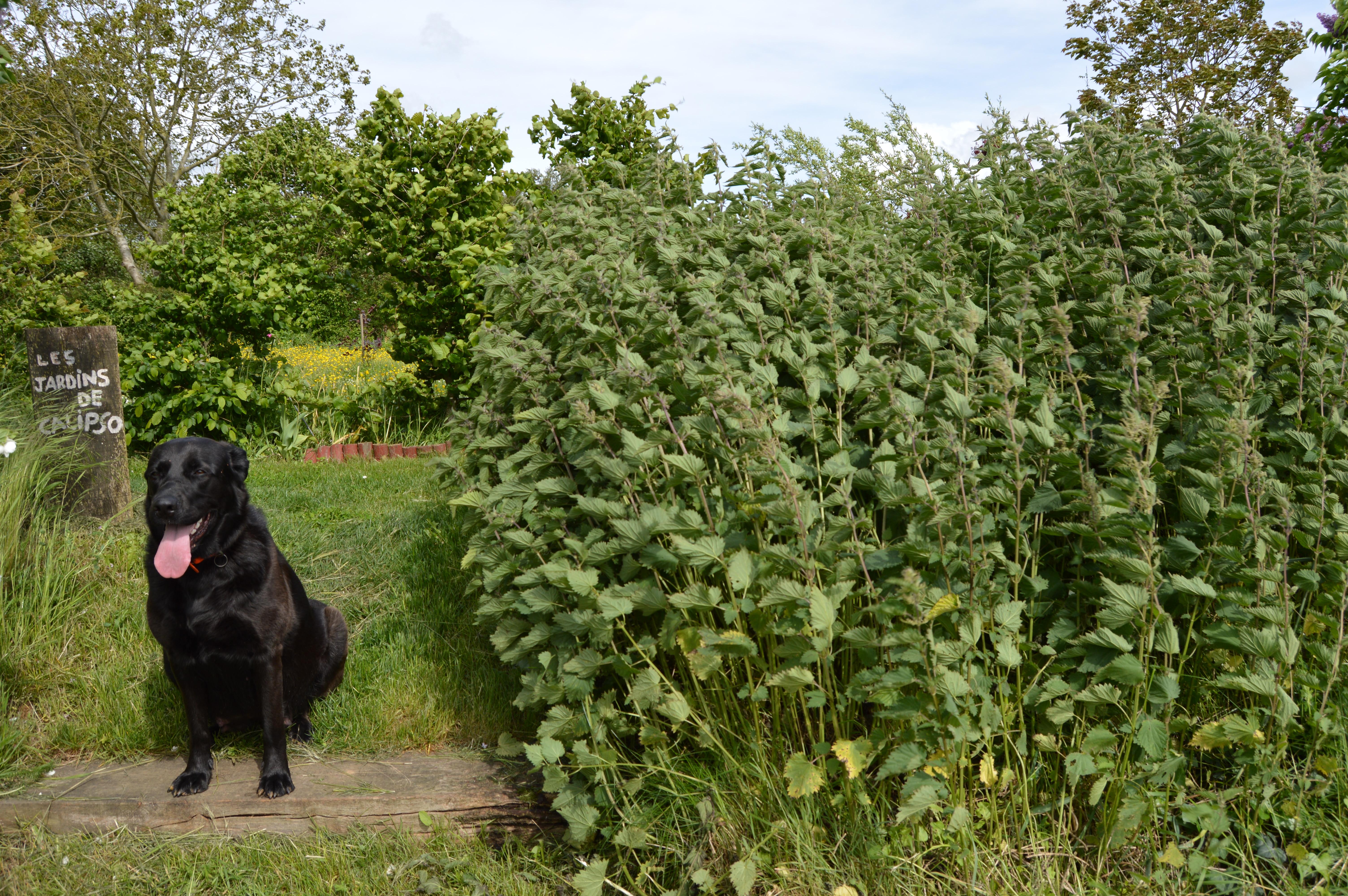 Kesketufabriq la rubrique jardins non remarquables - Purin d ortie desherbant ...