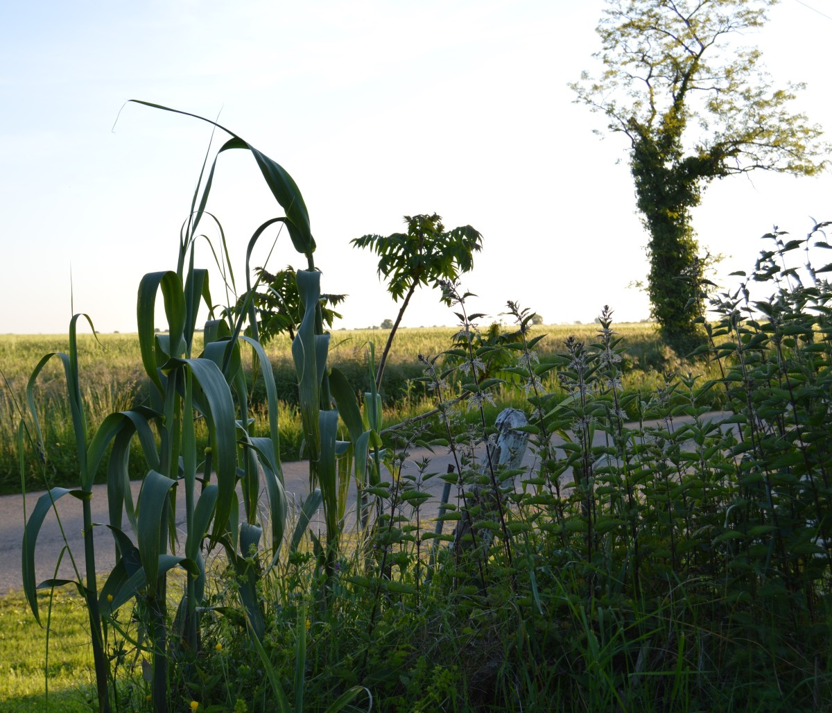 Urtica a gratte a gagne tous les coups jardins non remarquables - Purin d ortie desherbant ...