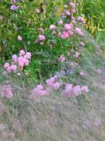Nuage d'inflorescence de Stipa et le rosier 'The Fairy'