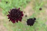 Scabiosa 'Chile Black'