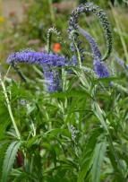 Une Salvia... qui connait son nom ?