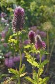 Trifolium 'Rubens'