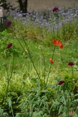 Sur fond de phacélie, la Knautia macedonica pour sa première floraison