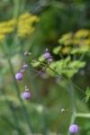 Thalictrum delavayi 'Splendide' sur fond de fenouil