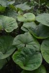 Ligularia (variété?)