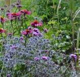 Association d'Echinacea avec Eryngium