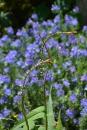 Persicaria Amplexicaulis 'Alba'