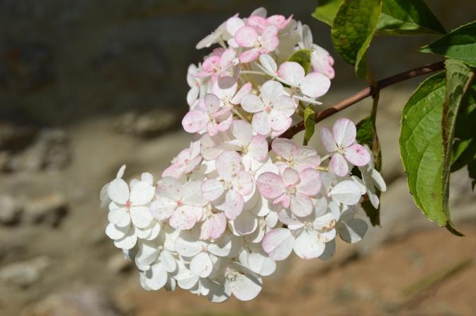 Hydrangea paniculata 'Limelight' et les autres serrata and quercifolia…