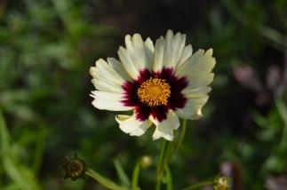 Coreopsis 'Redshift'
