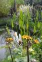 La floraison des Ligulaires
