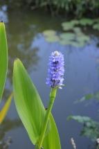 Une Pondeteria provenant de la pièce d'eau du jardin d'Olivier Galéa dans le Perche