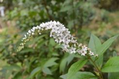 Lysimachia Clethroides (Lysimaque de chine) récupérée dans un troc plantes...
