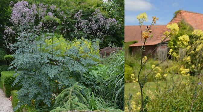 Thalictrum : la plante qu'il vous faut !