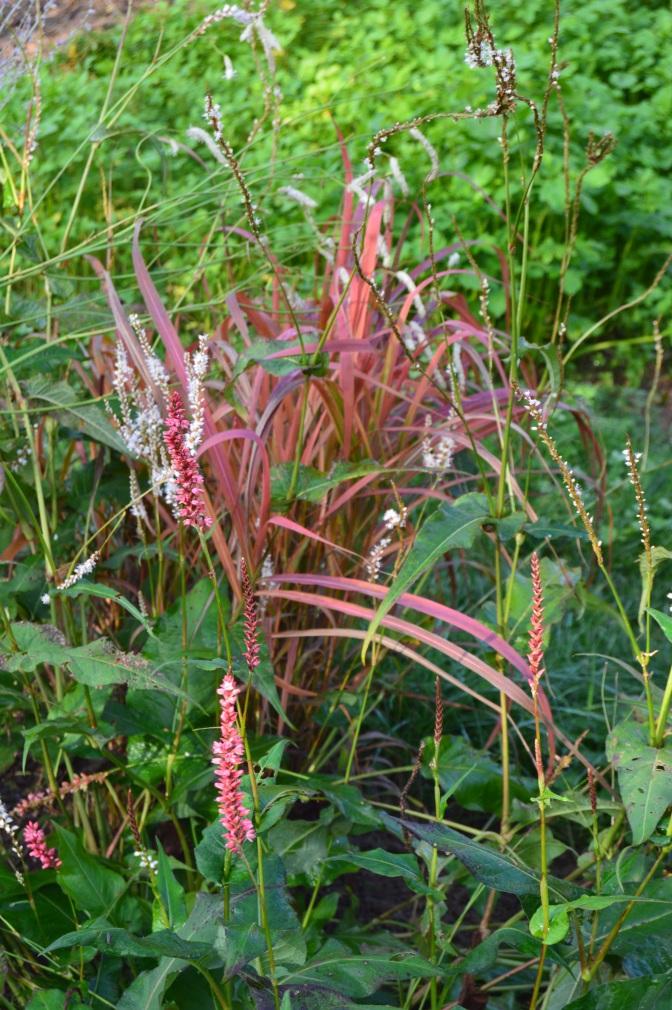 Miscanthus sinensis 'Purpurascens' : l'effusion