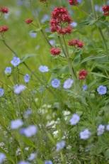 Centranthus ruber et fleurs de Lin vivace bleu