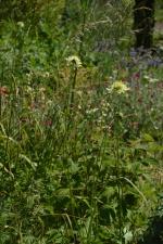 Cephalaria gigantea au Jardin de la Grille