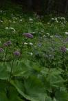 Adenostyles alliariae et Geranium