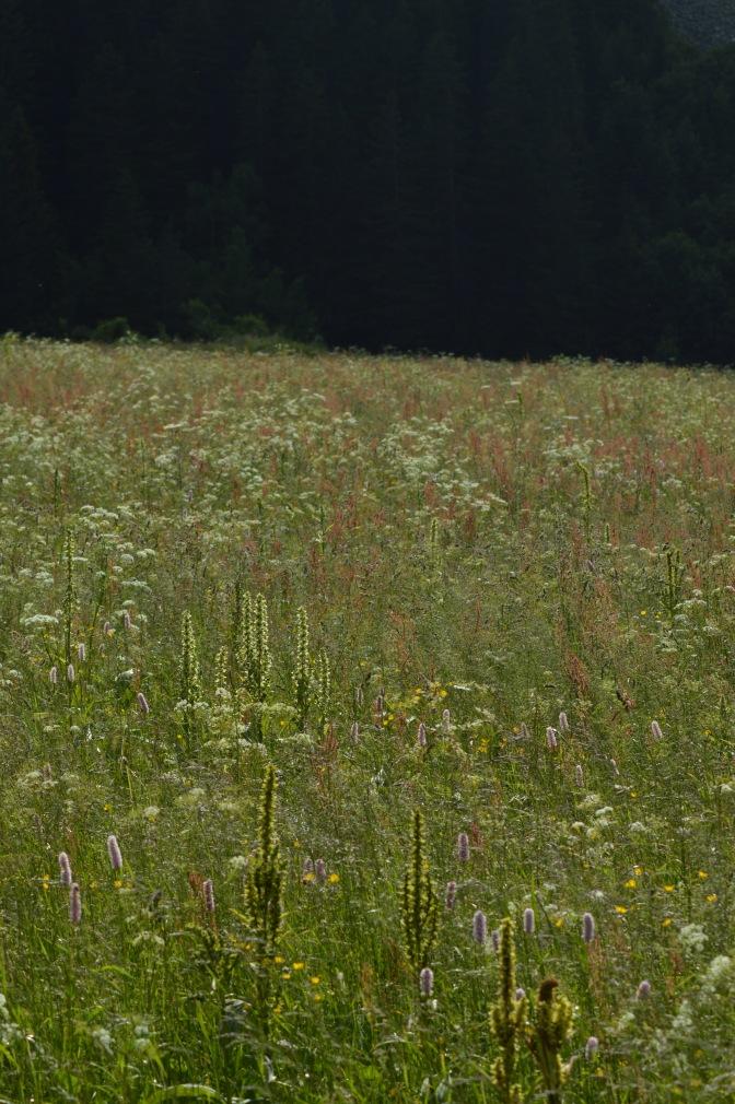 La Vanoise, petites fleurs pour le plus grand jardin naturel de France