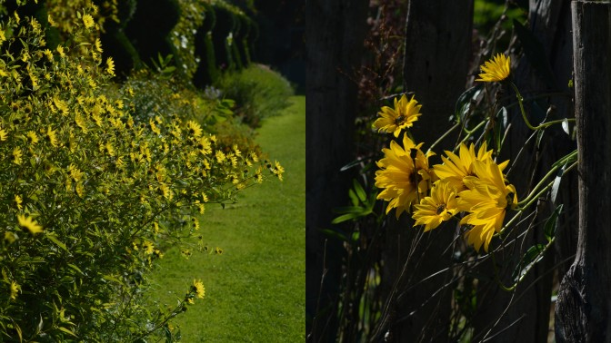 Helianthus 'Lemon Queen' : les petits chapeaux de la reine