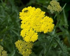 AchilleaMillefolium